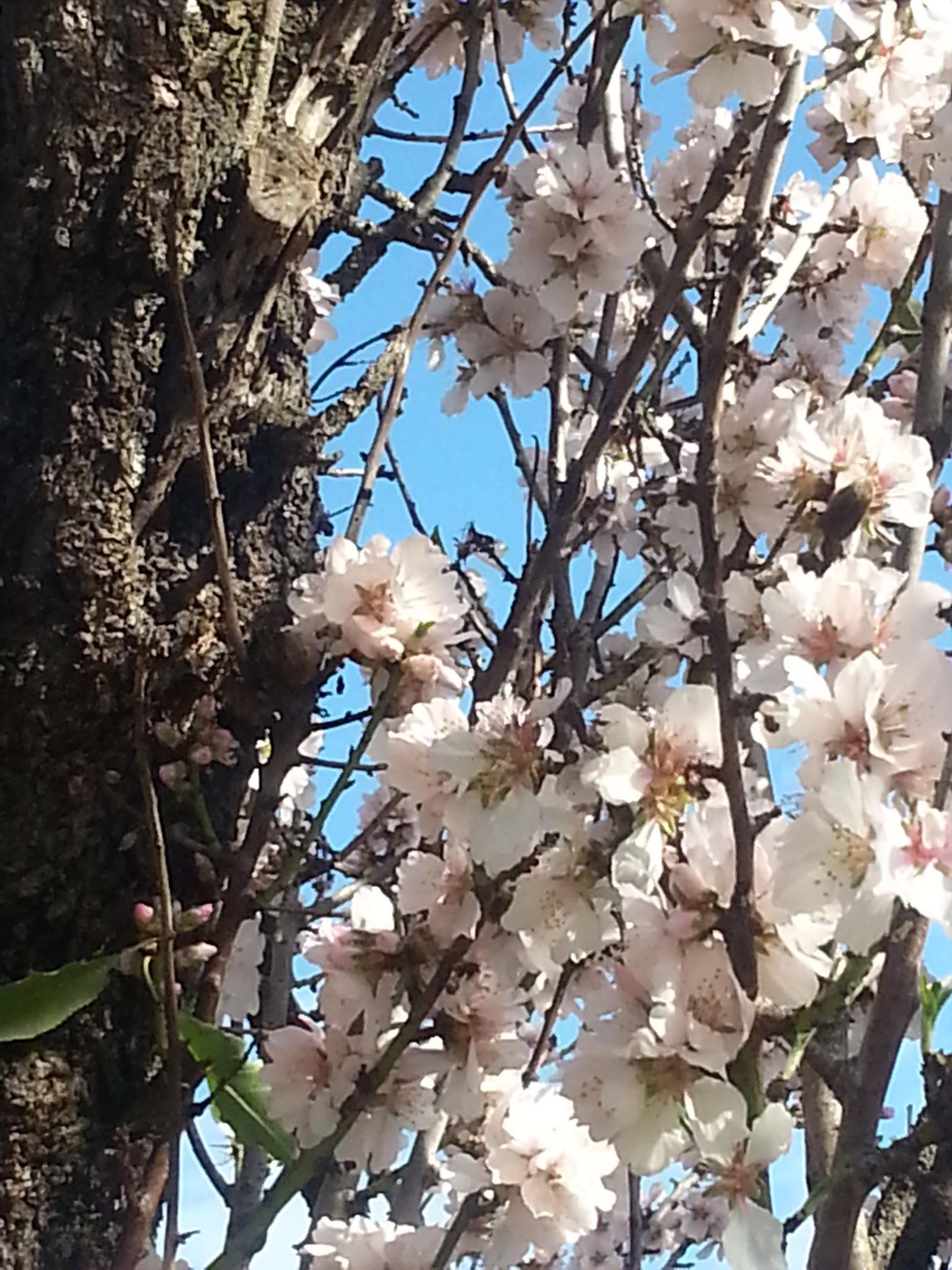 Blossom on Giles Rd, WIllunga Almond Blossom Festival 2013